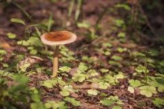 Fulva мухомора гриба Стоковые Изображения RF