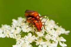 Fulva de Rhagonycha del escarabajo Fotos de archivo libres de regalías