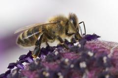 Fulva rojizo de Andrena de la abeja de mina Fotografía de archivo