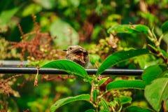 Fulvetta bird on trees in Doi Inthanon National Park Thailand. Fulvetta bird on trees found in the morning In Doi Inthanon National Park Thailand stock photos
