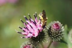 Fulvipes caucásicos rayados mullidos de Macropis de la abeja del primer en inflo Fotos de archivo