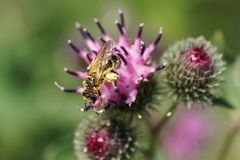 Fulvipes caucásicos rayados mullidos macros de Macropis de la abeja en inflores Fotos de archivo