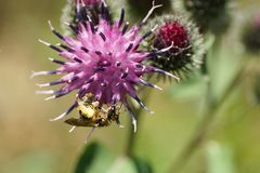 Fulvipes salvajes caucásicos mullidos macros de Macropis de la abeja en infl púrpura Fotos de archivo