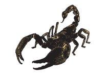 fulvipesptalamneusscorpion Arkivfoton