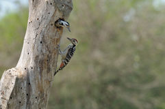 Fulvous-breasted Woodpecker. (Picoides macei) (Male & Female Royalty Free Stock Image