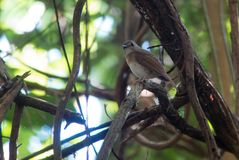 Fulvous-chested jungle flycatcher. On branch in Kinabalu Park Royalty Free Stock Photo