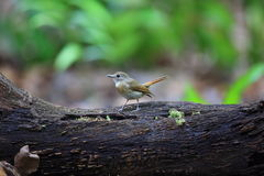 Fulvous-chested Jungle-Flycatcher Stock Photos