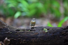 Fulvous-chested Jungle-Flycatcher Royalty Free Stock Photos