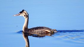 Fulvous duck Royalty Free Stock Images