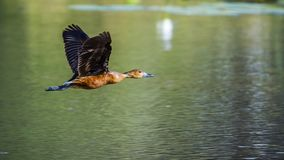Fulvous kaczka w Mapungubwe parku narodowym, Południowa Afryka Obrazy Royalty Free
