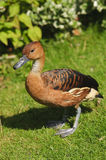 Fulvous Whistling Duck Royalty Free Stock Photo
