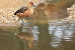 Fulvous whistling duck. The fulvous whistling duck reflecting in water Stock Photo