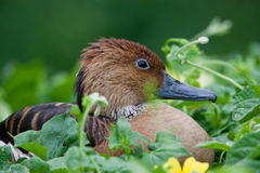 Fulvous Whistling Duck. (Dendrocygna bicolour) resting in flowering vines in South Africa Stock Photography