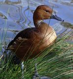 Fulvous Whistling Duck. By the water Stock Images