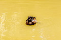 Fulvous whistling duck Dendrocygna bicolor. Stock Image