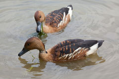 Fulvous whistling duck Dendrocygna bicolor. Also known as the fulvous tree duck Royalty Free Stock Photo