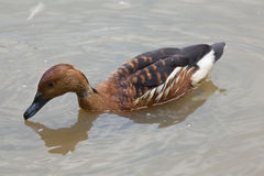 Fulvous whistling duck Dendrocygna bicolor. Also known as the fulvous tree duck Stock Images