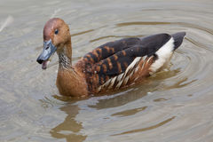 Fulvous whistling duck Dendrocygna bicolor. Also known as the fulvous tree duck Stock Photography