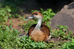 The Fulvous Whistling Duck Stock Photography