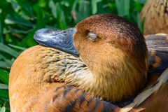 Fulvous whistling duck  (Dendrocygna bicolor) Closeup sleeping i. N the sunshine Stock Photo