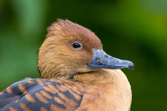 Fulvous whistling duck Stock Images
