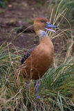Fulvous whistling duck. Dendrocygna bicolour, calling from shore Stock Images