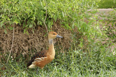The Fulvous Whistling Duck in front of bush. The Fulvous Whistling Duck is a whistling duck which breeds across the world's tropical regions Royalty Free Stock Images