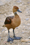 Fulvous Whistling Duck on ground Royalty Free Stock Photo