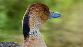 A fulvous whistling duck. Stock Photography