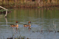 Fulvous Whistling-Duck. A pair of Fulvous Whistling-ducks swimming on a pond Royalty Free Stock Photography