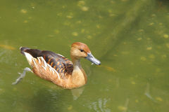 A Fulvous Whistling Duck pushing water with legs Stock Photography
