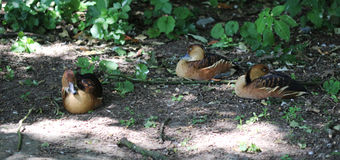 Fulvous Whistling-Ducks Stock Photography