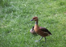 Fulvous Whistling Ducks. Two fulvous whistling ducks (Dendrocygna bicolor) on the grass Stock Image