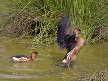 Fulvous Whistling Ducks in water Royalty Free Stock Photo
