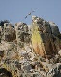 Fulvus för Gyps för Griffon gam som tar flyg royaltyfri foto