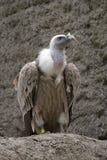 Fulvus o avvoltoio dei Gyps su una roccia Fotografie Stock