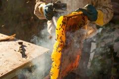 Fumador de la abeja que fuma en la apicultura estacional de las abejas de la miel del copyspace del colmenar que cultiva la produ Imagen de archivo