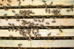 Fumador de la apicultura en la colmena de la abeja Conseguir la miel de la colmena Imágenes de archivo libres de regalías