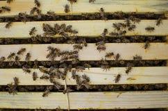 Fumador de la apicultura en la colmena de la abeja Miel de Gettong de la colmena Imagen de archivo libre de regalías