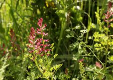 Fumaria officinalis, the common fumitory, drug fumitory or earth smoke, is a herbaceous annual flowering plant .Healing. Fumaria officinalis, the common fumitory royalty free stock photography