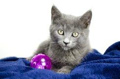 Fume el gatito gris con el juguete del gato, foto de la adopción del refugio para animales Imagen de archivo libre de regalías