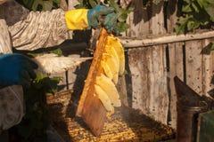 Fumeur d'abeille fumant en apiculture saisonnière d'abeilles de miel de copyspace de rucher cultivant la production biologique pr Images stock