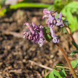 Fumewort or Corydalis flowers at flowerbed close-up, selective focus, shallow DOF Royalty Free Stock Photos