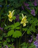 Fumewort or Corydalis with yellow flowers at flowerbed close-up, selective focus, shallow DOF Stock Image