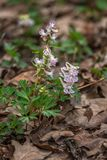 Fumewort flowers Corydalis solida. Pink color spring flowers Stock Photography