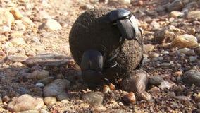 Fumier de roulement de scarabée de scarabée banque de vidéos