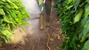 Fumigation of plantation, peppers plants. In greenhouse stock video footage