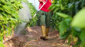 Fumigation of plantation, peppers plants. In greenhouse stock footage