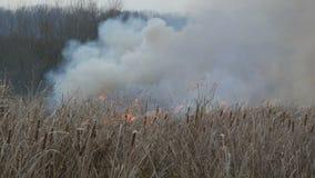 Fumo enorme da un incendio violento nella steppa della foresta Erba asciutta e cespugli brucianti Canna asciutta che brucia da un stock footage