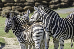 Fun animal image of a family of zebras Stock Photography